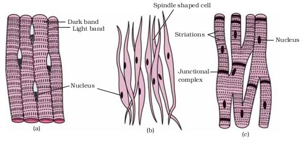 Chapter 6 Tissues NCERT Solutions For Class 9 Biology CBSE
