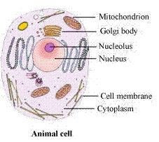Chapter 8 Cell - Structure And Functions - NCERT Solutions