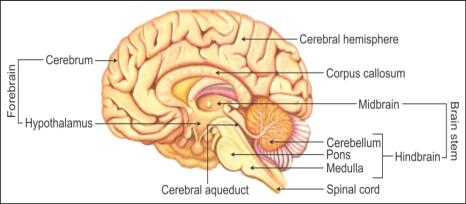 A Well Labeled Diagram Of The Human Brain - Block And Schematic ...