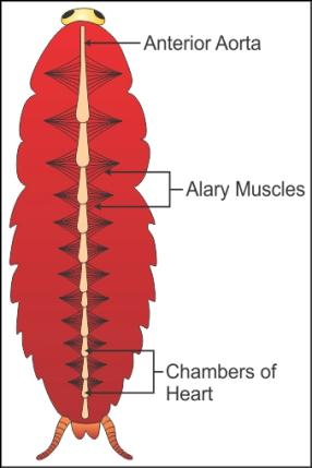 Draw A Labelled Diagram Of The Open Circulatory System Of Cockroach