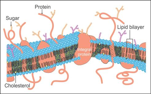 who proposed the fluid mosaic model of the plasma membrane
