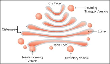 draw a    diagram    of the golgi apparatus and describe its