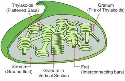 Draw a labelled diagram of the chloroplast and explain its structure draw a labelled diagram of the chloroplast and explain its structure ccuart Image collections