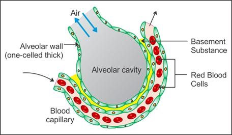draw a well labelled diagram of the section of an alveolus and the ...