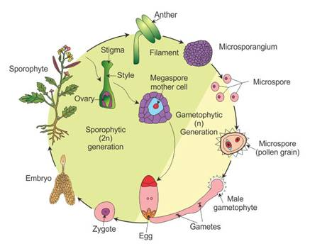 Draw A Labelled Diagram Of The Lifecycle Of An Angiosperm