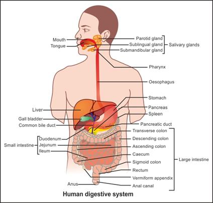 draw an outline of the human digestive system label any ten parts ...