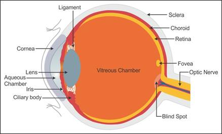 draw a diagram showing the parts of an eye  label any six parts