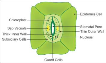 explain the structure of stomata with a labelled diagram