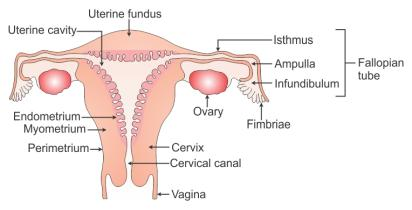 draw a labelled diagram of the reproductive system in a ... Reproductive System Diagram on pituitary system diagram, immune system diagram, fetus diagram, skin diagram, the vascular system diagram, immunologic system diagram, cardiac system diagram, endocrine system diagram, respiratory system diagram, excretory system diagram, cardiovascular system diagram, bladder system diagram, digestive tract diagram, musculoskeletal system diagram, integumentary system diagram, nervous system diagram, uterus system diagram, sensory system diagram, hepatobiliary system diagram, cns system diagram,