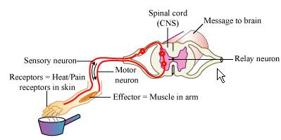Diagram a reflex arc introduction to electrical wiring diagrams which part of the nervous system controls reflex arcs with the help rh topperlearning com diagram of reflex arc gcse diagram of reflex arc class 10 ccuart Image collections