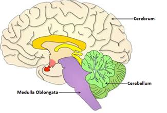 name the main parts of the brain explain the largest region