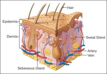 draw a labeled diagram of cross-section of the skin