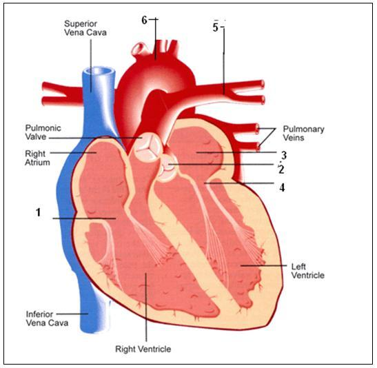Study the given diagram and answer the following questions a which study the given diagram and answer the following questions a which phase of the cardiac cycle is shown here b which part of the heart receives blood ccuart Image collections