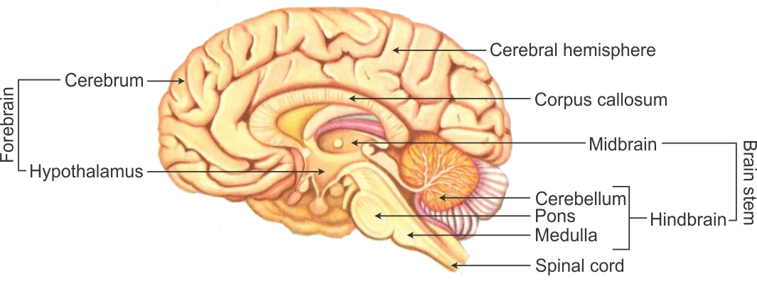 draw a diagram of human brain and label any four parts  write one function  each of any two parts