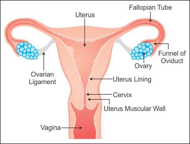 Draw a labelled diagram to explain the female reproductive system this canal the young one is born after completion of development inside uterus in females urinary opening urethra and vaginal openings are separate ccuart Image collections