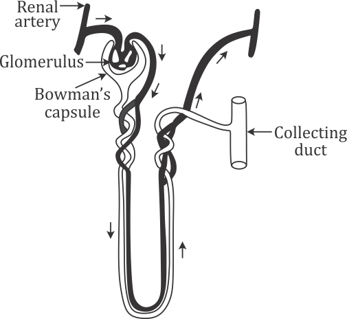 A Draw A Diagram Of An Excretory Unit Of A Human Kidney And Label