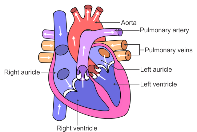a draw a sectional view of human heart and label on it i aorta ii ...