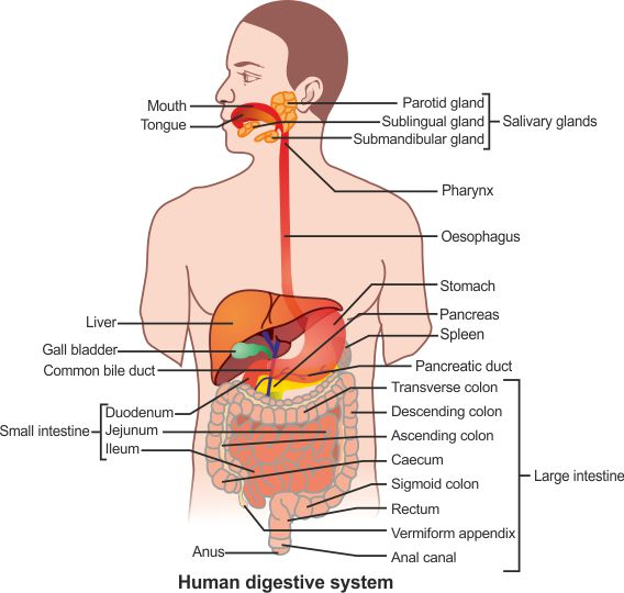 a draw diagram of human alimentary canal and label the following i ...