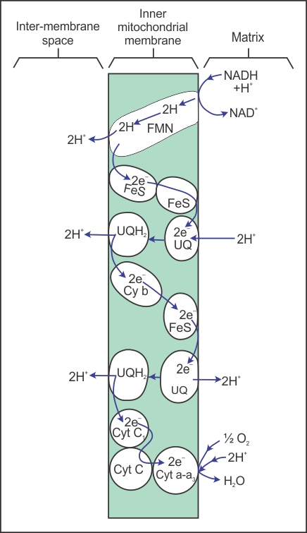 Plz explain the electron transport system diagram 10850 biology plz explain the electron transport system diagram ccuart Image collections