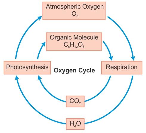 Draw Diagram Of Oxygen Cycle 8mu5j1144 Biology Topperlearning