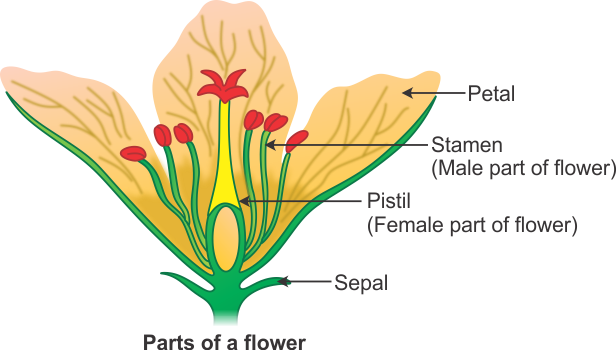 Draw a well labeled diagram of flower to show its parts gbzhcrb00 draw a well labeled diagram of flower to show its parts ccuart Images