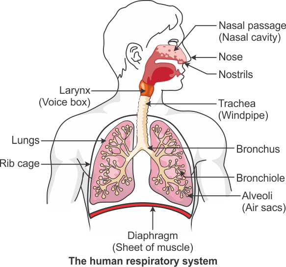 Where does the exchange of gases take place in the human respiratory where does the exchange of gases take place in the human respiratory system draw a neat and labelled diagram ccuart Choice Image
