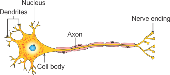Draw diagram of a neuron showing nucleus and cell body zgohqckss draw diagram of a neuron showing nucleus and cell body ccuart Gallery