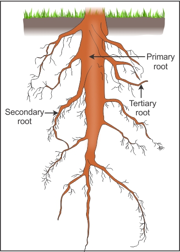 Explain The Taproot System With Suitable Diagram Gb0exgwvv Biology