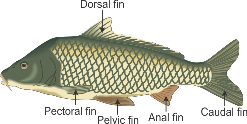 Draw A Labelled Diagram Of Bony Fish And Write The Function Of The