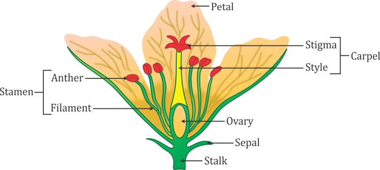Draw the diagram of a flowe 9870 biology topperlearning draw the diagram of a flower and label the four whorls write the names of gamete producing organs in the flower ccuart
