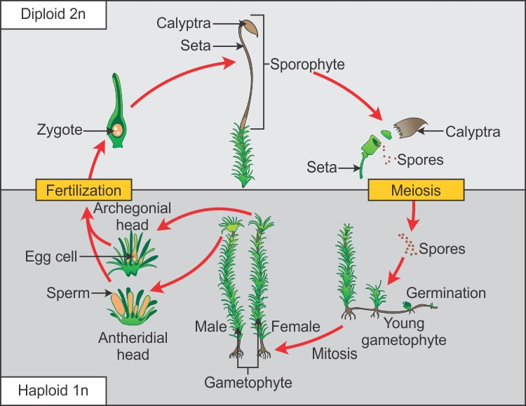 Monocots Diagram Life Cycle Custom Wiring Diagram