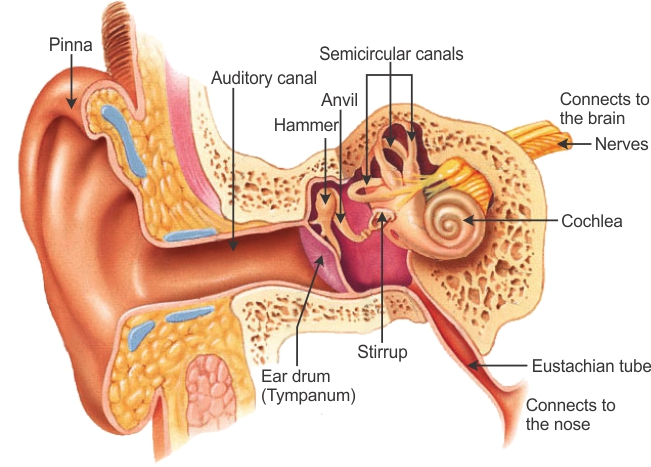 the outer ear is called 'pinna'  it collects the sound from the  surroundings  the collected sound passes through the auditory canal
