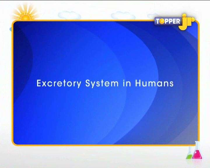 Excretion in Humans - The Urinary System