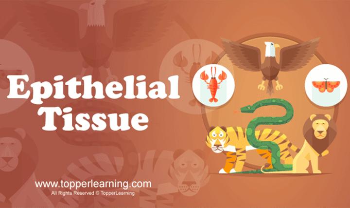 Structural Organisation in Animals - Animal Tissues
