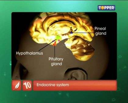 Endocrine System and Adolescence - Human Endocrine System
