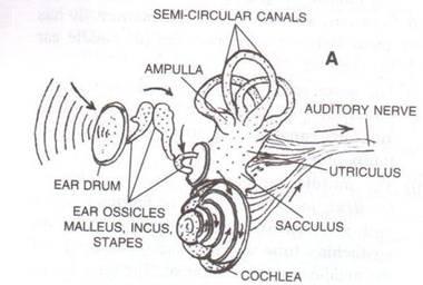 Selina Solutions Icse Class 10 Biology Chapter - Sense Organs