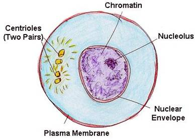 Selina Solutions Icse Class 10 Biology Chapter - Structure Of Chromosomes Cell Cycle And Cell Division