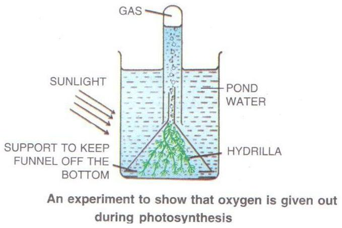 Selina Solutions Icse Class 10 Biology Chapter - Photosynthesis