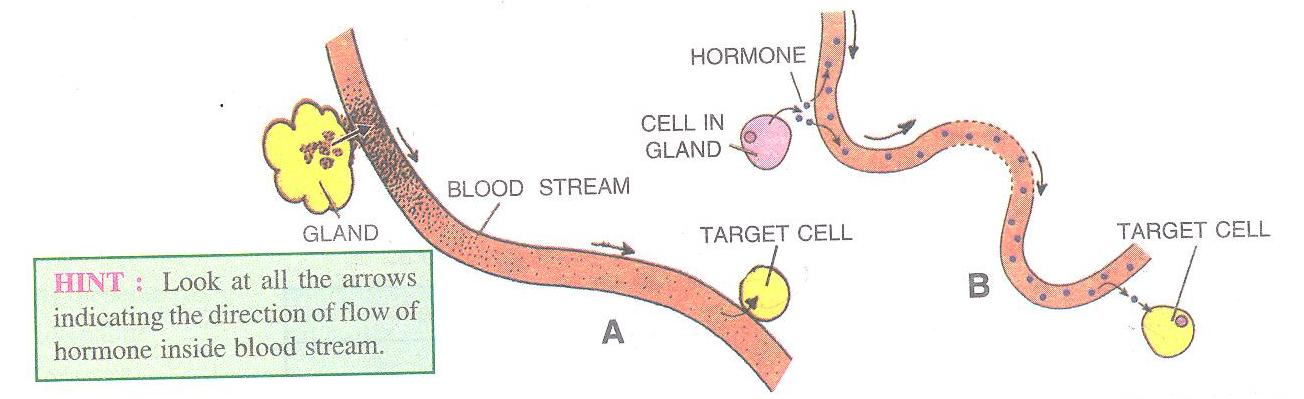 Selina Solutions Icse Class 10 Biology Chapter - The Endocrine System