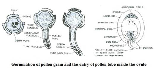 Selina Solutions Icse Class 9 Biology Chapter - Pollination And Fertilization