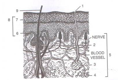 Selina Solutions Icse Class 9 Biology Chapter - Skin The Jack Of All Trades