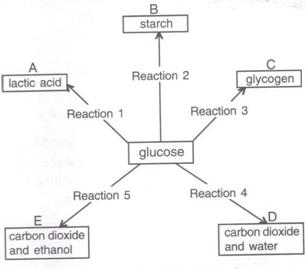 Selina Solutions Icse Class 9 Biology Chapter - The Respiratory System