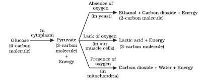 Ncert Solutions Cbse Class 10 Biology Chapter - Life Processes