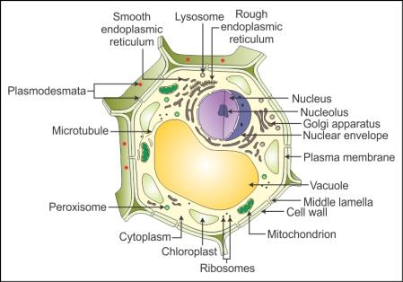 draw a well labelled diagram of a plant cell - Biology ...