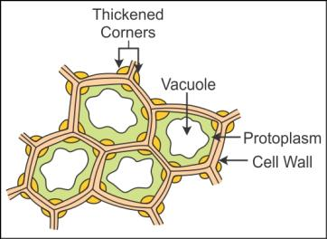 draw the diagram of collenchyma tissue - Biology ...