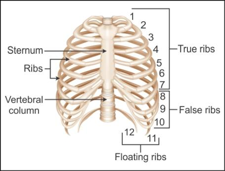 draw a well labelled    diagram    of the    rib    and    rib    cage  Biology  TopperLearning