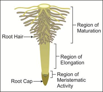 Draw A Well Labelled Diagram Of The Regions Of The Root Tip