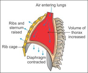 Ncert Solutions Cbse Class 11-science Biology Chapter - Breathing And Exchange Of Gases