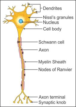 Ncert Solutions Cbse Class 11-science Biology Chapter - Neural Control And Coordination