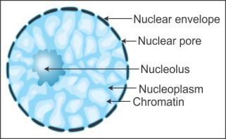 Ncert Solutions Cbse Class 11-science Biology Chapter - Cell The Unit Of Life